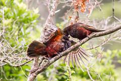 Kaka_3301 (Janice McKenna | eyemac23 | photography) Tags: newzealand bird canon wildlife parrot wellington kaka karorisanctuary aotearoa zealandia forestparrot nestormeridionalisseptentrionalis december2013 strigopidae