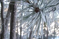pine (ailie*) Tags: winter sunlight snow blur macro tree nature closeup pine focus dof bright bokeh sunny pinecone needles ailie