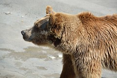 Zoo_Bears_001 (villy_yovcheva) Tags: bear park old wild brown black detail cute eye nature wet ecology face animal animals fauna danger standing mouth hair out walking square fur mammal outdoors zoo stand big dangerous furry sitting power looking outdoor head wildlife coat bears leg young large claw killer strong strength tall grizzly wilderness predator heavy powerful carnivore vertebrate brownbear ecotourism arctos