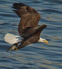 (digiphotonut) Tags: baldeagle raptor mississippiriver altonil melvinpricelocksanddam eaglewithfish