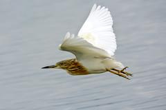 Scarza ciuffetto (d.carradori) Tags: beautiful natura uccelli atmosfera danilo fotografare flickrsbest acquatici uccelliacquatici eliteimages fotoclubilbacchino carradori scarzaciuffetto