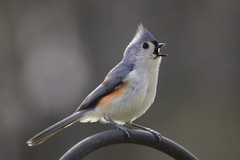 northcarolina titmouse tufted richmondcounty
