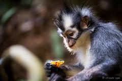 Thomas Leaf Monkey 4684 (Ursula in Aus) Tags: animal sumatra indonesia unesco bukitlawang gunungleusernationalpark earthasia sumatrangrizzledlangur thomasslangur presbytisthomasi thomasleafmonkey