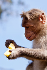 It's ma thinkin' monkey (philborg) Tags: india tongue monkey eating papaya wyanad