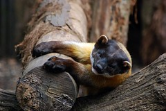 Northern yellow-throated marten (James L Taylor) Tags: