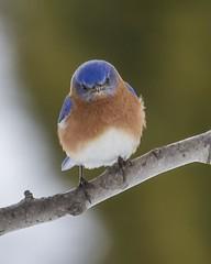 Eastern Bluebird (Carol Huffman) Tags: home nature birds virginia wildlife roanoke va bluebird eastern