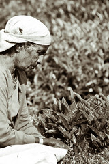 Harvesting tea 2 (philborg) Tags: portrait bw india white black field sepia tea working harvesting wyanad