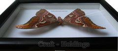 Giant Attacus Atlas Male Moth (j.peter799) Tags: moth atlas collectible attacus attacusatlas giantbutterfly malemoth giantattacusatlasmalemoth