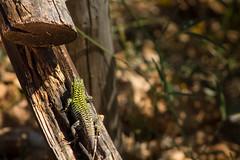 Nascondiglio (liberoilverso) Tags: nature animal animals alberi canon natura albero tronco ramo canoneos animali animale rami legno naturale lucertole tronchi lucerola canoneos1100d
