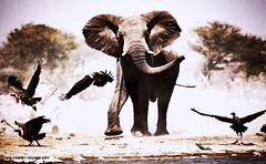 (monami2010) Tags: africa birds horizontal landscapes flying display action reserve ears communication vultures elephants np endangered waterhole grassland mammals th groups proboscis savanna flocks vertebrates proboscids