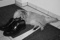 I like Daddys shoes! (Vasquezz) Tags: bw cat mono sw katze siberian siberiancat sibirische forestcat waldkatze sibirisch sibirischekatze сибирскаякошка
