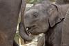 Let's go (K.Verhulst) Tags: elephant elephants emmen noorderdierenpark olifanten dierentuinemmen aziatischeolifant asiaticelephants radza aziatischeolifanten radzajunior