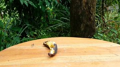 Mielero patirrojo  (Cyanerpes cyaneus) y Yigirro (Turdus grayi) (Jorge Sols Campos) Tags: naturaleza bird nature animal fauna costarica wildlife ave wildanimal pjaro cyanerpescyaneus turdusgrayi animalsalvaje prezzeledn yigirro mieleropatirrojo