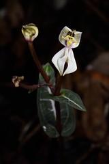 DisperisFH2_6876_20150207_09_30 tripetaloides (evideerf2002) Tags: orchid flower nature beauty fleurs de la ile terrestre réunion orchideen wildorchid macrophotographie mascareigne orchidéesauvage disperis