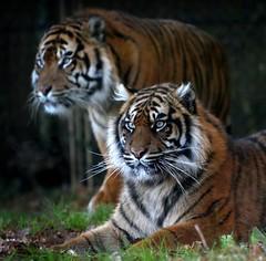 Watchful Tiger Eyes (Ger Bosma) Tags: tiger sumatrantiger tijger tigress sumatratiger pantheratigrissumatrae sumatraansetijger tigredesumatra tigredisumatra tygryssumatrzaski  img115887 happybirddaytam