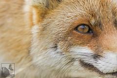 Dans lil du Renard... (Les Frres des Bois) Tags: red roux redfox renard goupil renardroux canids rnndesmaraisduvigueirat