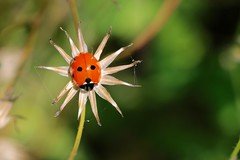 [Explore] A new kind of flower 3P6A9879 (Ludo_M) Tags: red color macro nature canon bug insect eos bokeh 7d ladybird ladybug coccinelle markii ef100mmf28lmacroisusm canoneos7dmarkii