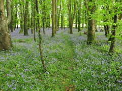Bluebell Wood (Rona's whereabouts) Tags: wood blue ireland colour tree green me nature forest myself landscape outdoors leaf spring squirrel scenery bright song path walk foliage april greenery bluebell masses midlands kildare shadowsandlight roofofleaves killinthomaswood