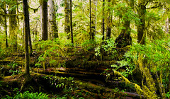Vancouver Island Rainforest (Alan FEO2) Tags: trees canada green outdoors rainforest bc britishcolumbia vancouverisland tofino vegetation lush ucluelet undergrowth pacificrimnationalpark enchantedforests 2oef