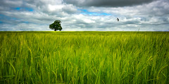 Fly Away (SimonTHGolfer) Tags: uk summer sky plants tree bird art nature field barley clouds landscape flying suffolk spring oak nikon farm fineart swallow eastanglia ruleof3rds ruleofthirds housemartin landscapephotography d5100 simontalbothurnphotography