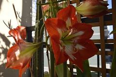 Hippeastrum: fiori (costagar51) Tags: italy italia natura sicily fiori palermo piante sicilia