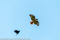 RedTailHawk battle 5_DSC5603.jpg (orig_lowolf) Tags: usa home oregon nikon flickr flight crow attacking redtailedhawk lakeoswego d300s sigma150500mmf563afapodgoshsmtelephotozoom