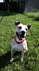 Tia Maria (DDA1) Tags: pet adopt adoption adoptable doggiesmile pitbullmix adoptioncenter adoptionshelter saveapetilorg