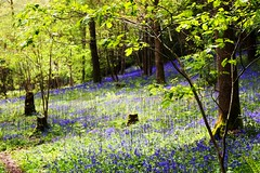 Springtime in the woods (Macro light) Tags: bluebells spring woods wildlife naturereserve trust wildflowers worcestershire theknapp