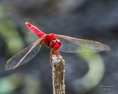 Dragonflies -43 (jimlustgarten) Tags: dragonflies lustgarten