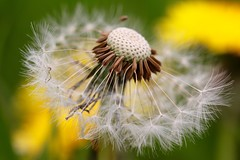 When I was a child (jeannie debs) Tags: flower time head seed dandelion seeds explore wildflower wheniwasachild macromondays