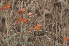 """Orange Globe Mallow • <a style=""""font-size:0.8em;"""" href=""""http://www.flickr.com/photos/63501323@N07/26878412543/"""" target=""""_blank"""">View on Flickr</a>"""