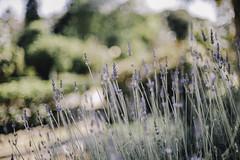 Infinit (Little wanderer) Tags: trees naturaleza nature dof bokeh lavender natura depthoffield lavanda shallowdepth d610 50f14