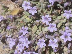 CampanulaGreece01 (val17mccormack) Tags: holiday nature yellow flora purple delphi greece april ramblers