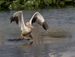 and we have lift off! (ruthpphoto) Tags: pelican whitepelican americanwhitepelican