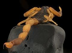 Scorpion, Arkansas, FT, long view_2016-05-10-16.34 (Sam Droege) Tags: macro closeup canon bug insect sting scorpion arkansas stacking usgs geologicalsurvey pwrc droege departmentoftheinterior stripedbarkscorpion unitedstatesgeologicalsurvey patuxentwildliferesearchcenter dofstacking zerenestacker stackshot biml taxonomy:binomial=centruroidesvittatus beeinventoryandmonitoringlaboratory