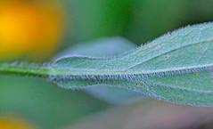 CAC038999a (jerryoldenettel) Tags: flower susan mo sunflower rudbeckia wildflower asteraceae blackeyedsusan 2016 rudbeckiahirta asterales asterids caneymountainca ozarkco