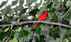 The Male Cardinal2 (toddmartin3@att.net) Tags: birds nikon cardinal d3100