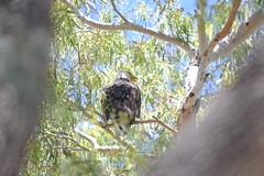 DSC_0218 (Gritsgal Photo's) Tags: bald eagles baldeagles