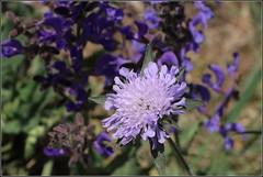 Blau vor Blau... (julia_HalleFotoFan) Tags: wiese knautia salviapratensis witwenblume wiesensalbei wiesenwitwenblume knopfblume