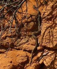 Baby Rattle (Dru!) Tags: usa buzz ut desert rattlesnake escalante snak rattle holeinthewall holeintherock utahtrip willowgulch eroot soonerrocks utrah