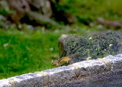 Chipmunk on the run (Michael Bateman) Tags: chipmunk wildlife flight flying critter michael bateman photography michaelbateman