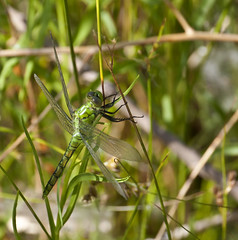 Hiding in Plain View -- Western Pondhawk Dragonfly -- Female (Erythemis collocata); Albuquerque, NM, Tingley Beach Park [Lou Feltz] (deserttoad) Tags: mountain newmexico nature animal fauna insect pond dragonfly behavior