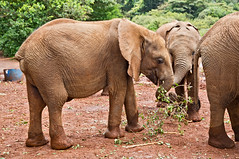 David Sheldrick Elephant Orphanage - Alamaya 21 (Grete Howard) Tags: safariinafrica safari whichsafaricompany bestsafaricompany calabashadventures travel holiday africa kenya elephants davidsheldrickwildlifetrust elephantorphanage wildelife animals nairobi