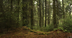 Dalby Forest (Emmog) Tags: wood trees nature rain weather pines spruce dalby dalbyforest