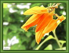 Don-Juan-Pflanze / Juanulloa aurantiaca (Martin Volpert) Tags: flower fleur flor pflanze blume blüte blomster virág lore blóm floro solanaceae kvet kukka cvijet bláth õis nachtschattengewächse mavo43 juanulloaaurantiaca solanoideae donjuanpflanze guacamayastrauch