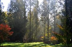 misty sun (charlottehbest) Tags: november autumn trees light sunshine colours arboretum gloucestershire autumncolours westonbirt autumnal westonbirtarboretum 2015 charlottehbest