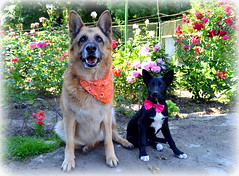 Fashion (me_ady_blackcat) Tags: dog fashion pet germansheperd flower garden rose furrylove fur nikon romania craiova caine ciobanescgerman