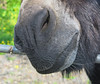 Whiskers (Katie_Russell) Tags: ireland nose donkey whiskers whisker northernireland ni ulster nireland norniron coleraine countylondonderry countyderry coderry colondonderry colderry loughan countylderry