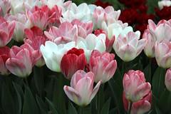 IMG_2879 (t1p2m3) Tags: flower fleur kim tulip tulipa tulipe tulpen  tulp hng ut
