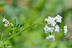 P6142158 (eriko_jpn) Tags: whiteflower wildflower cicutavirosa